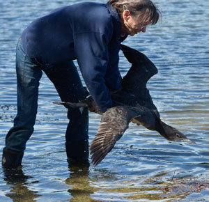 Diane releases a juvenile Common Loon