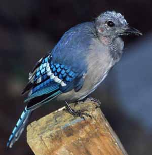 Blue Jay molting