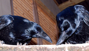 Common Raven juveniles