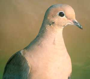Mourning Dove adult