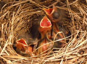 Song Sparrow nestlings
